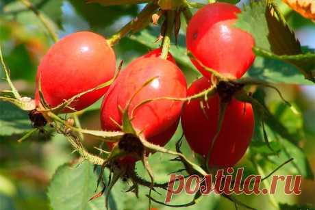 Шиповник- уникальное растение , с необыкновенной целебной силой.