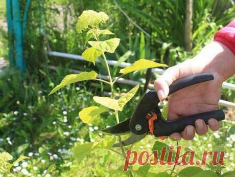 Как размножить гортензию черенками – пошаговая инструкция для новичков  Черенкование – самый простой способ размножения гортензии любого вида. Одревесневшие черенки укореняются плохо, поэтому лучше использовать однолетние зеленые побеги. В статье мы подробно расскажем, как вырастить эффектную гортензию из черенка.  Размножать гортензию черенками можно и весной, и летом. Но наиболее подходящее время для этого дела – середина лета (незадолго до начала цветения). Поэтому реко...