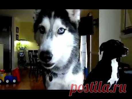 ▶ Уникакльный пёс Мишка ( хаски ) умеет говорить 12 слов !!! - YouTube