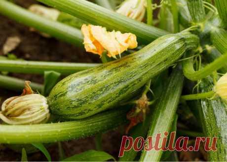 Как правильно поливать кабачки, чтобы получить богатый урожай   Огород на подоконнике   Яндекс Дзен
