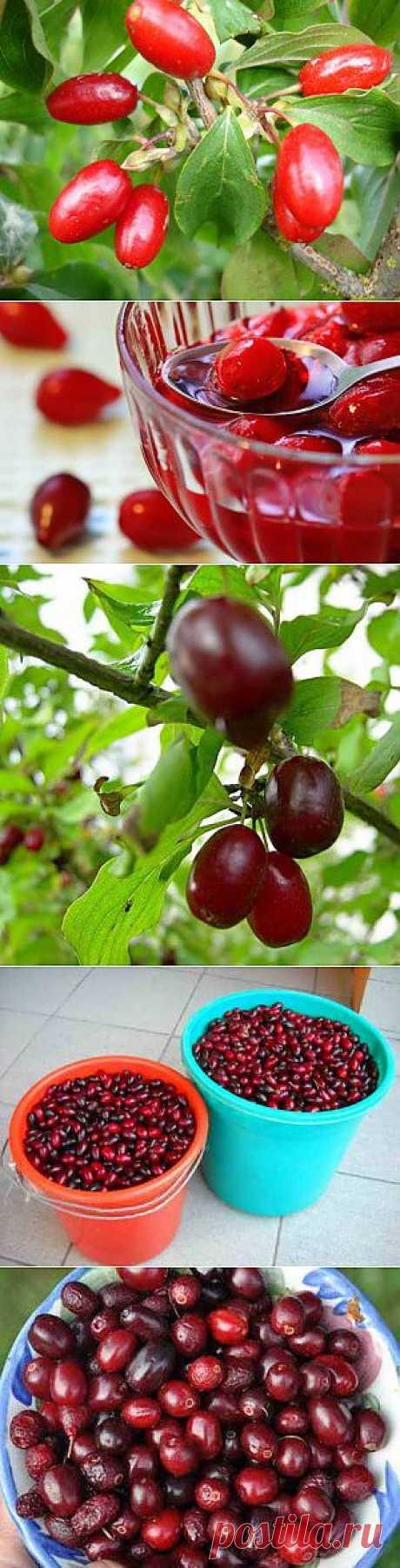 Выращивание и размножение кизила | Дача - впрок
