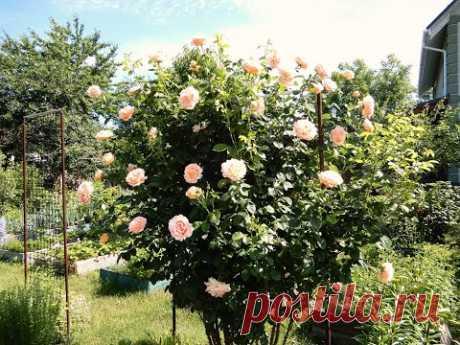 Роза Полька.Замечательная плетистая роза.