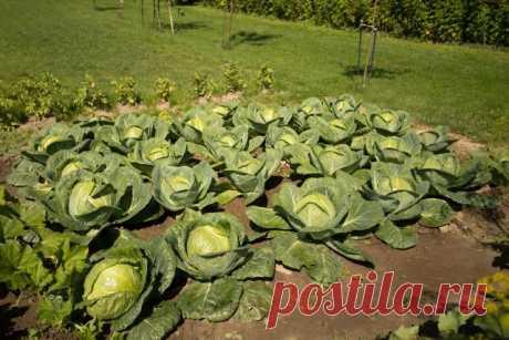 Что можно посадить после капусты – планируем посадки на следующий год | Капуста, лук, чеснок (Огород.ru)