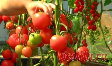 Подкормка для томатов, благодаря которой плодов завяжется в 10 раз больше Каждый сезон дачники и огородники озабочены хлопотами на участке. Для кого-то это в удовольствие, для кого-то — тяжёлый труд. Тем не менее, и тем, и другим хотелось бы, чтобы урожай оправдывал вложенные усилия и был богатым.