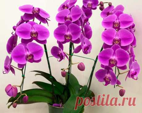 Как увеличить длину и толщину цветоносов у орхидеи - Интересно