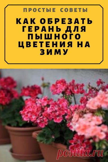 Как обрезать герань для пышного цветения на зиму — Простые советы