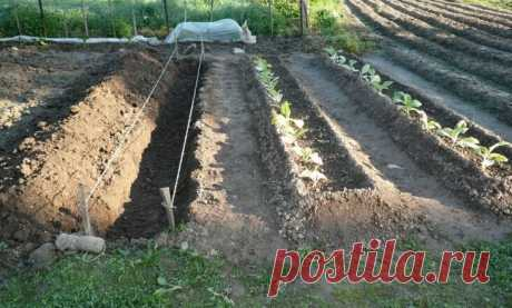 Современный огород: делаем узкие грядки на участке и каждый год собираем отменный урожай | Мой сад и огород | Яндекс Дзен