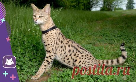 😺ТОП-5 самых крупных пород кошек в мире   Нос, хвост, лапы   Яндекс Дзен