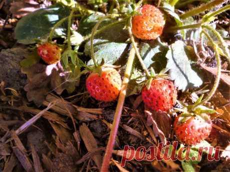 """Клубника завязала много ягодок. """"Поколдуем"""" немножко, чтобы они выросли все. 3 способа подкормки   6 соток"""