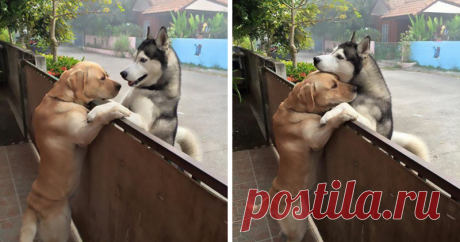The lonely dog ran away from the yard to embrace the friend (5 photos) | Oh, damn Labrador by nickname Messi - the embodiment of the true friend not only for the hostess Oranita Kittragul, but also for lonely Audi's huskies. Quadrupeds live on one street, opposite to each other. When the owner Audi leaves for work, the pet takes separation hard, but Messi is always ready to console the friend. Get acquainted, this is the Labrador by nickname Messi - the embodiment of the true friend not only for the hostess Oranita...