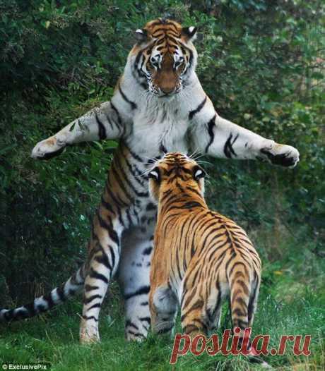 Las gatas grandes