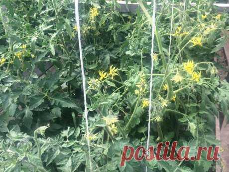 Этапы развития томатного растения – когда и чем подкармливать помидоры