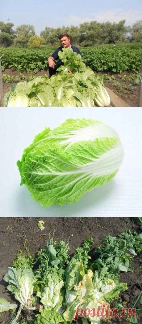 Как Пекинской угодить или два урожая за сезон