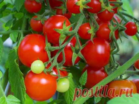 Сорта томатов, которые принесли богатый урожай соседке. Я на следующий год точно посажу | Мой любимый огород | Яндекс Дзен
