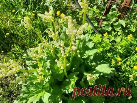 Посадите ревень в огород, красивая кожа, вкусная выпечка и защита от муравьёв вам обеспечена   ленивый огородник   Яндекс Дзен