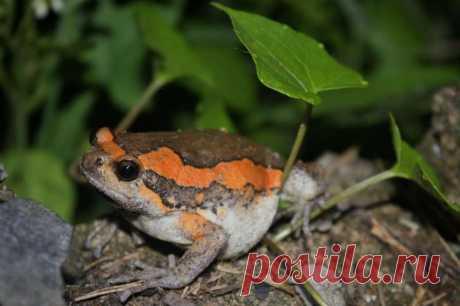 Украшенная бычья лягушка, или индийская бычья лягушка (лат. Kaloula pulchra) Это небольшая лягушка привлекает к себе внимание не столько нарядной окраской, сколько способностью сильно раздувать свое тело и очень громким
