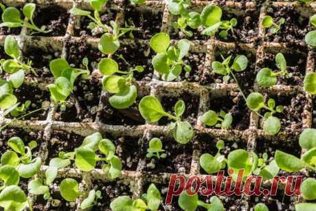 Петунии: выращивание, виды, посев и уход за петуниями. Условия и размещение петуний на даче