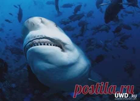 АКУЛА ТУПОРЫЛАЯ (Carcharhinus leucas) Эти акулы, достигающие 3,6 м в длину, населяют прибрежные районы тропической области. Эти довольно ленивые и медленно плавающие акулы распространены во всех океанах
