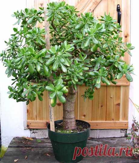 Очень многие выращивают у себя «Денежное Дерево». Так вот, знайте, что вы поливаете и выращиваете…Ё66