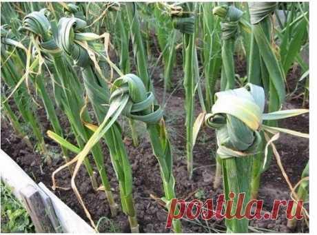 Советы по выращиванию чеснока.  Как только листья чеснока появятся из земли, посадки подкармливают азотным удобрением. Для этого в 10 л воды растворяют 1 ст. ложку мочевины, 10 л - на 1 м2.  Когда листья чеснока достигнут высоты 10-15 см, отгребают землю от луковицы, обсыпают золой и возвращают землю на место. Эту операцию повторяют при появлении стрелок.  Когда отросли стрелки чеснока – не пропустите момент, пока они еще молоденькие, смело выламывайте или обрежьте ножницами, оставляя небольш