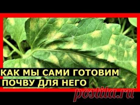 Кладоспориоз томатов  Как от него избавиться