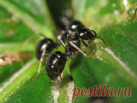 Как избавиться от чёрных муравьев
