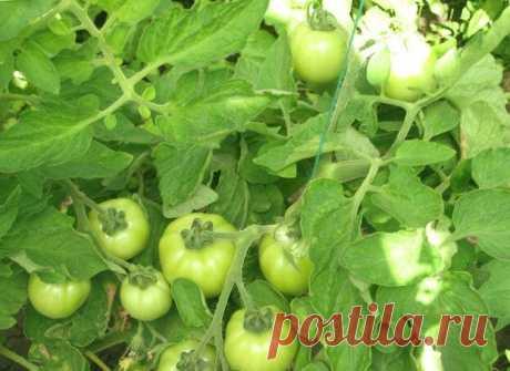 Опрыскал томаты народными подкормками, ДУМАЛ ЕРУНДА. Но через несколько дней БЫЛ ШОКИРОВАН ОГРОМНОМУ количеству завязей | 6 соток