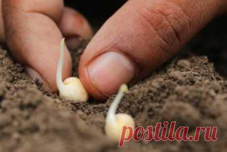 Подготовка семян к посеву. Как правильно это сделать? Подготовка семян к посеву, что надо знать, как правильно делать? Виды предпосевной обработкии их использование для семян. Как ускорить появление всходов?