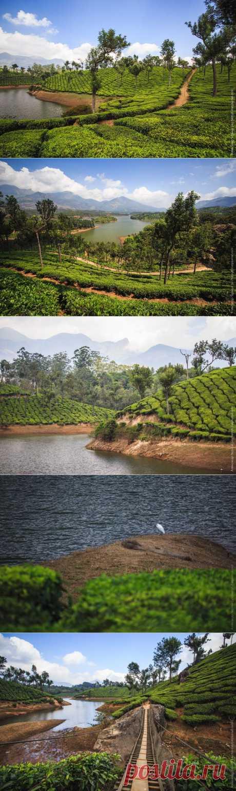 >> Чайные плантации Муннара | НОВОСТИ