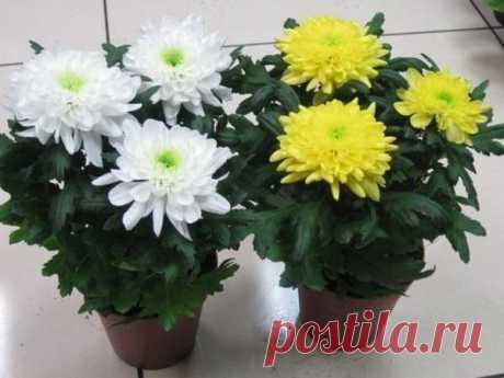 Как вырастить у себя хризантему из обыкновенного букета? | Дачный каприз | Яндекс Дзен