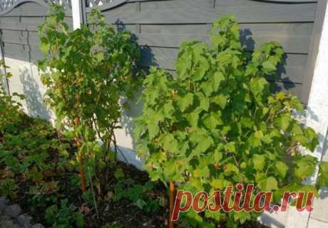 Обрезка кустов смородины после сбора урожая: процедура, которую нельзя пропустить