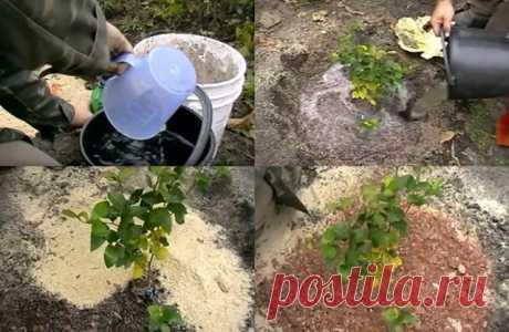 Как правильно выращивать садовую голубику – советы по посадке и уходу | Голубика, жимолость (Огород.ru)
