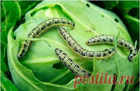 Сода - мое универсальное средство против всех вредителей на капусте | Дача, сад и огород | Яндекс Дзен
