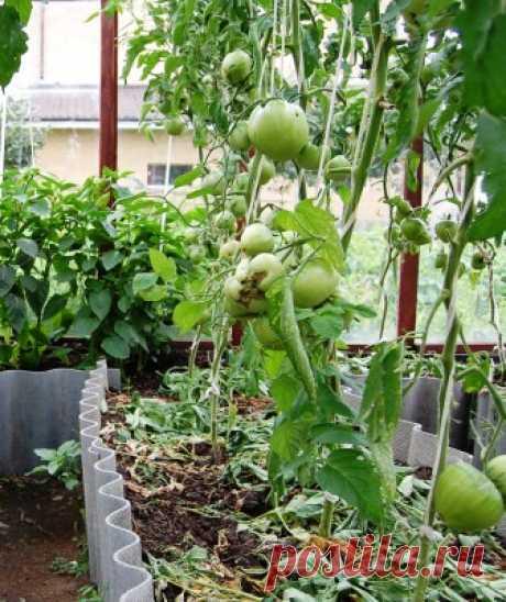Помидоры в августе: чем подкормить томаты, нужно ли поливать во время созревания