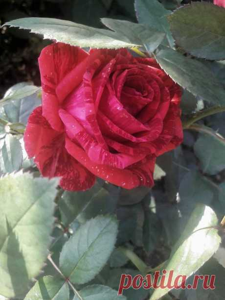 4 вопроса по обрезке роз к зиме. Шпаргалка по обрезке | Цветочница Анюта 🌹 | Яндекс Дзен