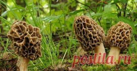 Как вырастить грибы сморчки | Мысли вслух!