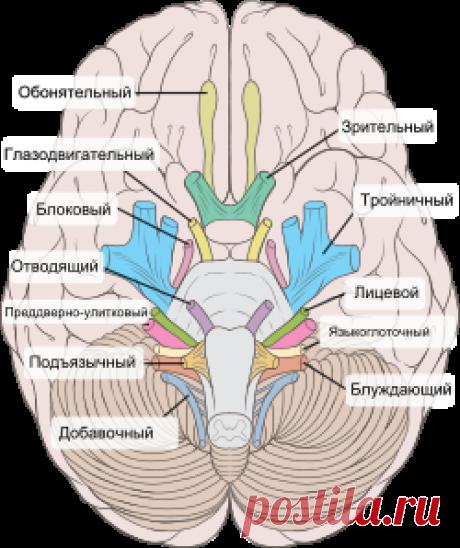 Что такое блуждающий нерв