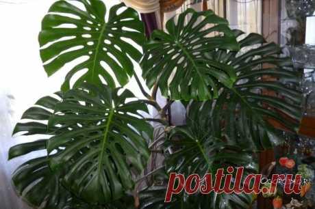 Монстера – уход в домашних условиях, как правильно обрезать растение + фото