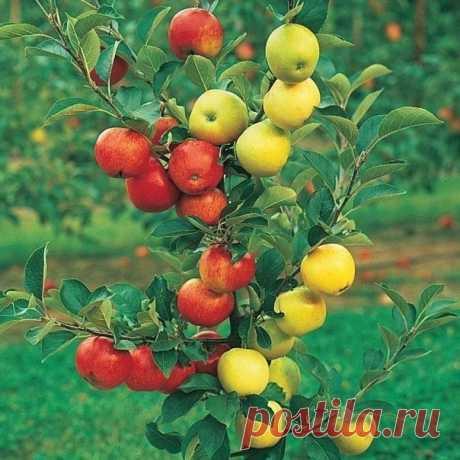Как привить яблоню несколькими сортами