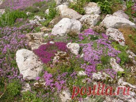 Тимьян в саду: виды и сорта, особенности и секреты выращивания