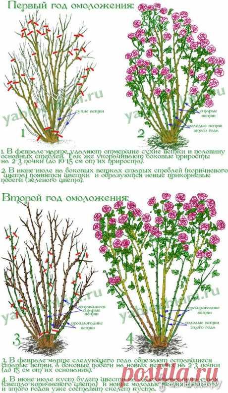 Омолаживание роз.: Группа Цветы и флористика