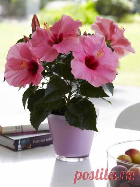 Гибискус китайский, или Китайская роза (Hibiscus rosa-sinensis)
