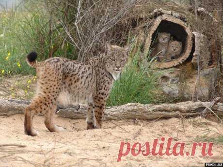Большие дикие кошки (47 фото)   Прикол.ру — приколы, картинки, фотки и розыгрыши!