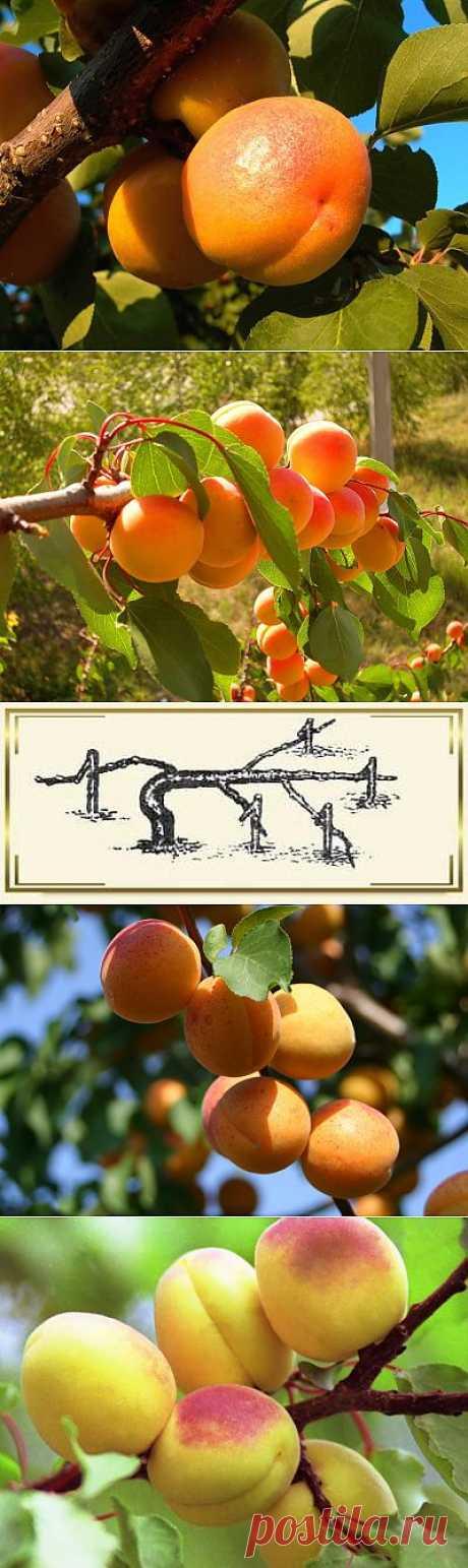 Сорта и размножение абрикосов. Посадка и уход за абрикосами. Абрикос относится к семейству розоцветных, это раскидистое дерево с мощным стволом. Это южное растение, для посадки следует выбрать самое теплое, светлое и высокое место в саду из возможных.  Сажать надо до пробуждения почек — в конце апреля.  Между деревьями около 5 м. Посадочная яма готовится осенью и имеет размеры 70х70х70 см. При посадке учитывайте, что корневая система в диаметре в 2 раза превышает крону.
