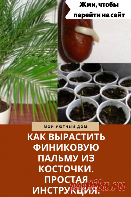 Выращиваем финиковую пальму из косточки  правильно