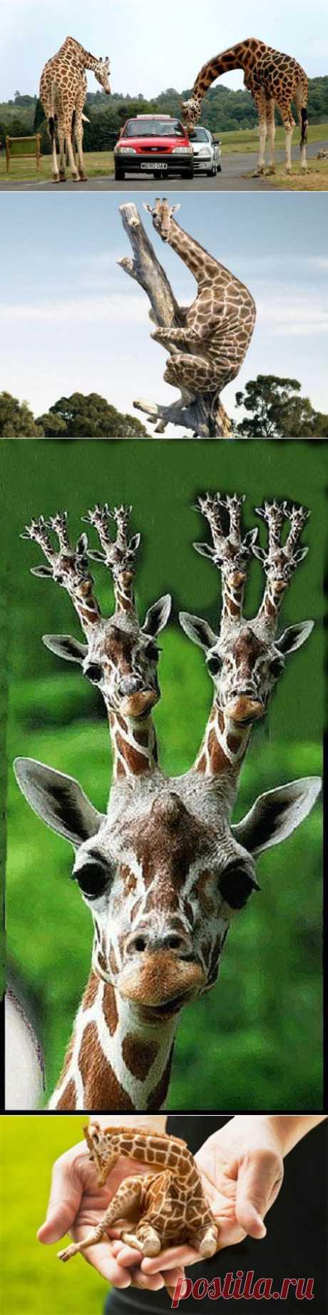 Жирафики | Уши, лапы, хвост