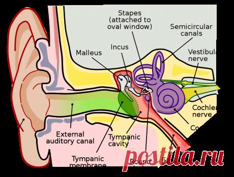Слуховая сенсорная система — Википедия