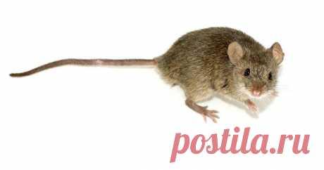 Los ratones en la casa de campo. Como luchar: la eficiencia de los métodos. Otpugivatel