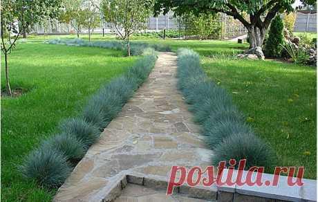 Овсяница голубая или фестука. Снимок сделан в первых числах октября. Овсяница была высажена после посева и первой стрижки газона.
