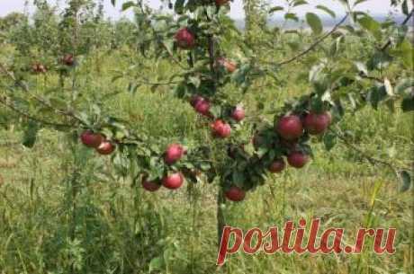 Уход за яблоней осенью, подготовка к зиме Что надо сделать с яблоней в осенний период, чтобы она хорошо перезимовала